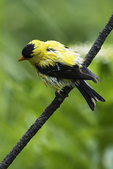 American goldfinch in early summer