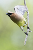 Cedar waxwing in flight