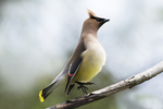 Cedar waxwing displaying in early summer