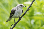 First year mockingbird with caterpillar in early July
