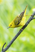 Yellow warbler in early July