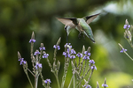 Female ruby-throated hummingbird nectaring on blue vervain in mid-July