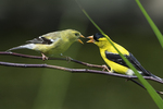 American goldfinch interaction in mid-July