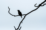House wren singing on overcast rainy day in mid-July