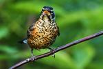 American robin fledgling, birds, songbirds, common backyard birds,