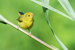 First year yellow warbler mid-July