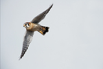 Male American kestrel in flight