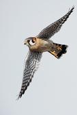 Male American kestrel in flight