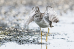 Adult lesser yellowlegs in late July