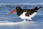 Banded American oystercatcher in surf