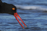 American oystercatcher up close