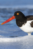 American oystercatcher in surf