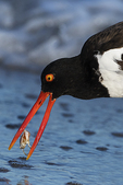 American oystercatcher with crab in surf