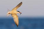 Common tern in flight in late July