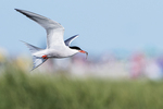 Common tern in flight in late July