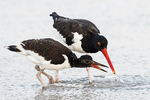 Adult American oystercatcher with first year bird