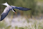 Common tern flight in mid-summer