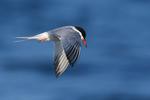 Common tern flight in mid-summer