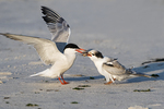 Adult common tern feeding fledgling at the beach