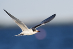 First year common tern in flight