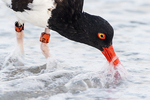 Adult American oystercatcher foraging in surf