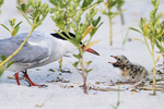 Common tern and very young chick in early August