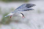 Common tern hovering over nesting grounds in early August