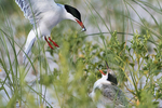 Adult common tern and hungry chick in early August, birds, shorebirds, terns, bird parenting,   tern nesting grounds,