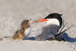 Adult common tern and new=born chick in early August