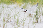 Juvenile common tern on nesting grounds in early August