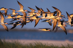 Black skimmer flight at sundown