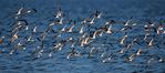 Black skimmer flight pattern at sundown
