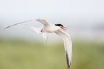 Adult common tern flight in early August