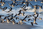 Black skimmer flight at Atlantic beach shoreline