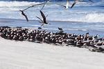 Black skimmers at Atlantic beach shoreline