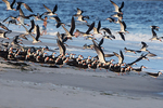 Black skimmers and bathers at Atlantic beach shoreline