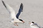 Adult common tern feeding fledgling