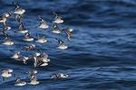Sanderlings in flight at Atlantic ocean beach