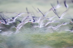 Black skimmer flight abstract