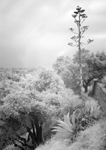 Infrared of agave and oaks