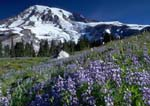 LUPINES AND MOUNT RAINIER. Deadhorse Creek Trail at Paradise Meadows.