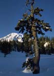 MOUNTAIN HEMLOCK WITH MOUNT RAINIER