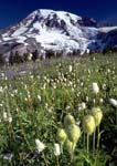 WESTERN ANEMONE SEEDHEADS AND MOUNT RAINIER. With American Bistorts at Deadhorse Creek Trail in Paradise Meadows.