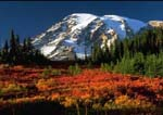 PARADISE MEADOWS IN AUTUMN, Huckleberries, Willows and Mountain Ash bring the reds, golds and burgundies of autumn to Mount Rainier.