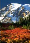 MOUNT RAINIER IN AUTUMN, Paradise Meadows glow red, burgundy and gold as huckleberries, mountain-ash, and willows take on autumn colors. Mount Rainier, dusted by the first snow of the season, looms over the meadows.