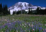 PARADISE MEADOWS WITH MOUNT RAINIER, Lupines dominate the mid-summer meadows on Mazama Ridge.