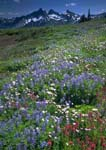 UNICORN PEAK IN THE TATOOSH RANGE, With Lupines and Fleabanes.