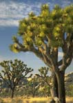JOSHUA TREES, in Lost Horse Valley