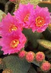 BEAVERTAIL CACTUS FLOWERS