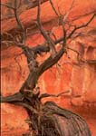 UTAH JUNIPER SNAG, with sandstone wall